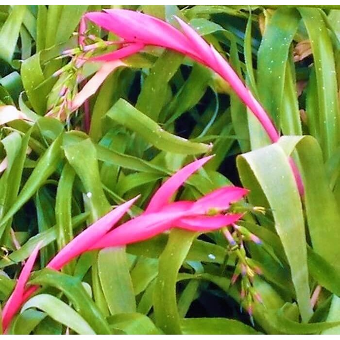 Billbergia 'Windii'