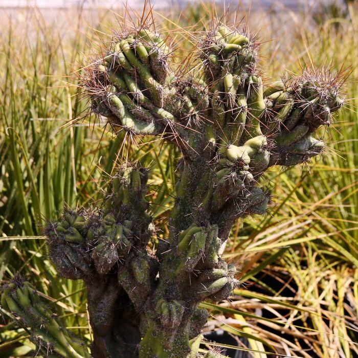 Cereus peruvianus 'Monstrosus'